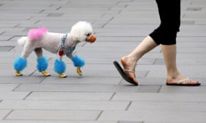 Poodle in China