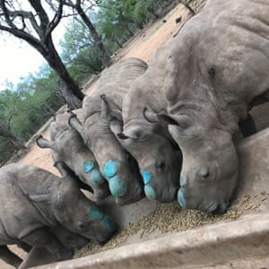 Five orphan rhino's that have been dehorned were released back in to the wild in South Africa on 8 November. Their mothers had all been killed by poachers, and after rehabilitation, their horns were removed to protect them from the same fate