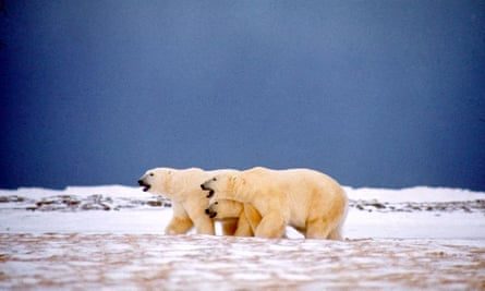 In winter, when food is scarce, Arctic foxes sometimes eat food left over by polar bears.