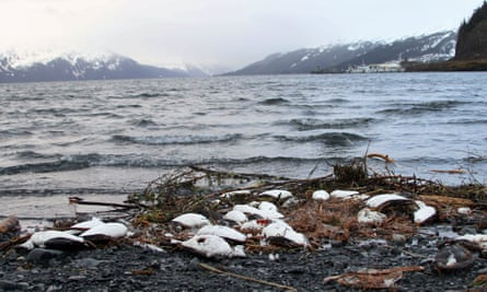 Dead common murres lie washed up on a rocky beach in Whittier, Alaska.