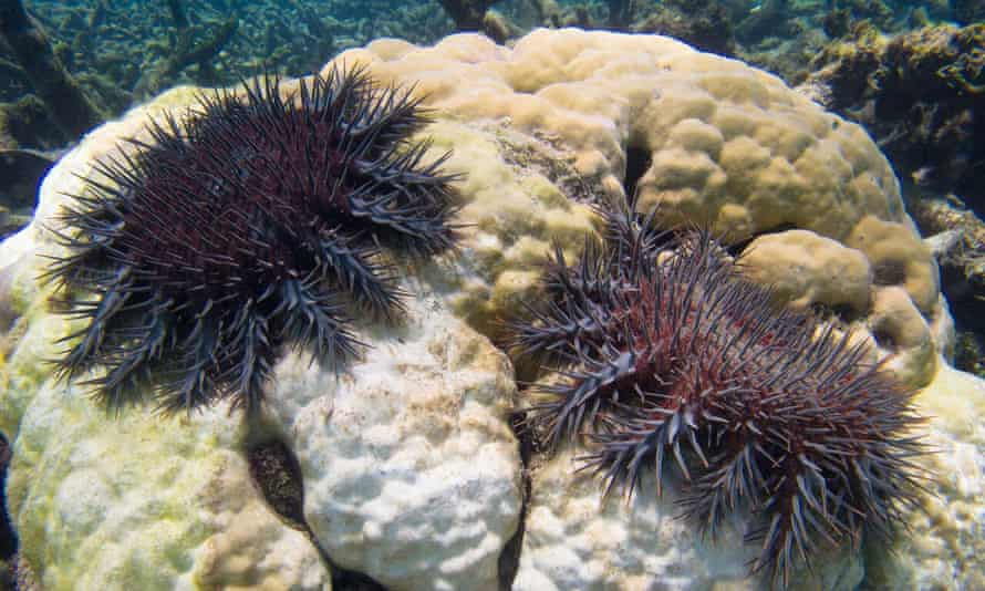 A plague of coral-eating starfish has been decimating the Great Barrier Reef in Australia but research released in September 2015 shows they can be killed off with vinegar.