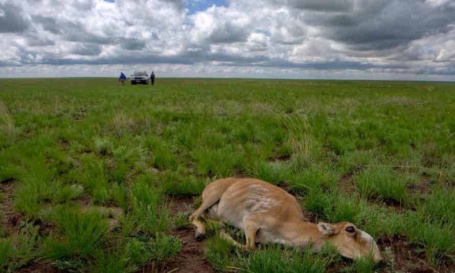 Dead saiga antelopes in Kazakhstan. At least 150,00 died within a fortnight earlier this year.
