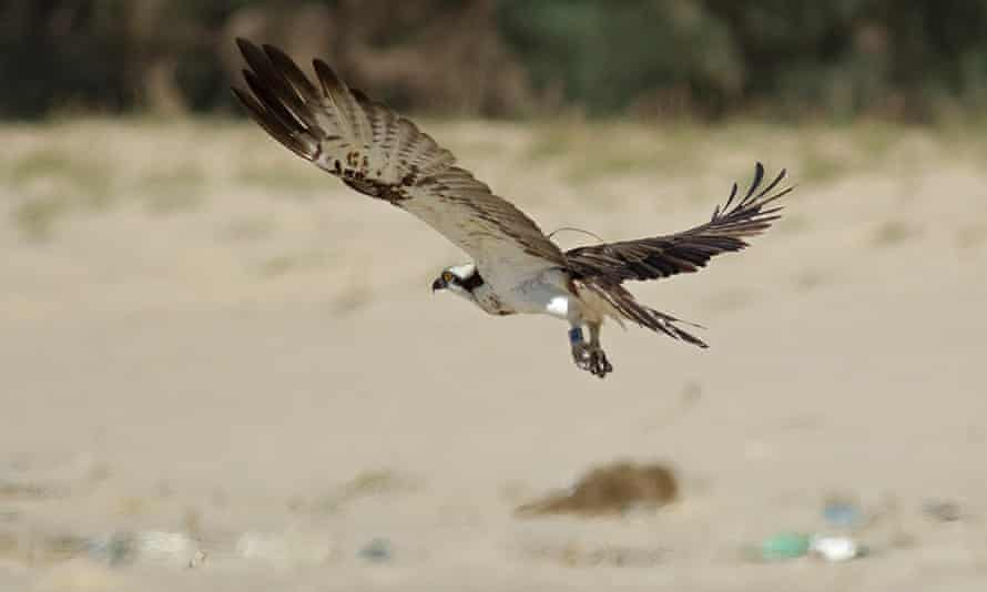 Blue YD, the osprey, had not been seen for more than 18 months. It's now been spotted on a beach in Senegal.