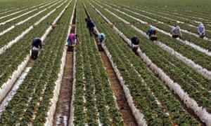 Strawberry pickers work their way through a strawberry field in Oxnard, California.