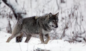 A grey wolf on the prowl in the Carpathian mountains of Poland.