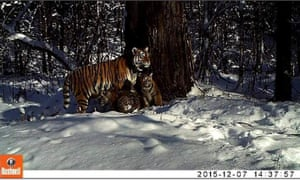 Siberian tiger Zolushka plays with her three cubs in Bastak reserve, Russia.