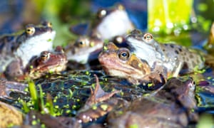 Common frogs congregating among piles of spawn