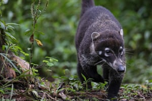 View of a coati, part of the fauna that makes up one of the biological corridors in Upala. The corridors, which cover 33% of the territory of Costa Rica, are a bridge for biodiversity conservation and also contribute to the sustainable development of rural communities