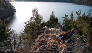 A female osprey lays her third egg of the season at the Loch of the Lowes wildlife reserve, near Dunkeld in Perth and Kinross