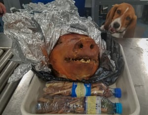 While sniffing passenger baggage, APHIS trained detector dog Hardy uncovered a hog's head able to bring diseases like African swine fever and foot and mouth disease to the United States, 11 octobre 2018