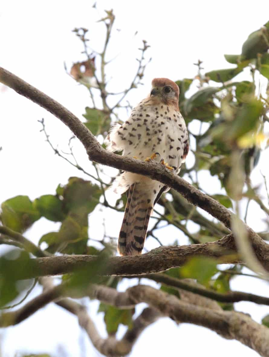 The Mauritian Kestrel, arguably, once the world's rarest bird of prey. Once classed as 'Endangered' by the IUCN, the bird which is smaller than its European cousin is now 'Vulnerable'.
