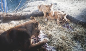 Lions at Copenhagen zoo eating Marius the giraffe, which was put down and dissected in front of the public last year.