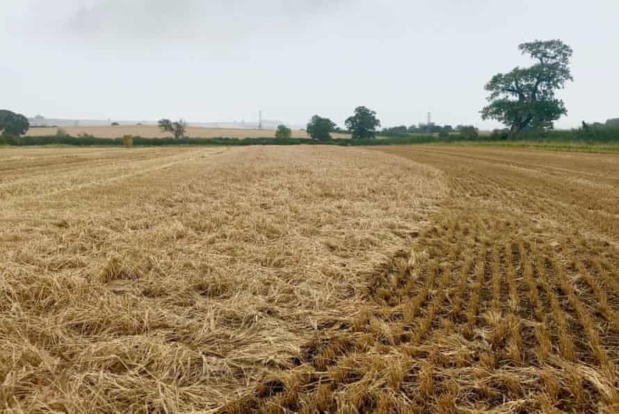 The partly flattened barley field Barton-le-Willows, North Yorkshire