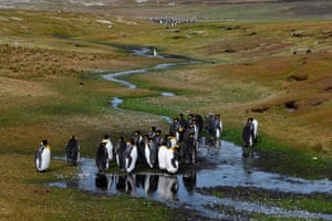 King penguins gather in Volunteer Point, north of Stanley in the Falkland Islands