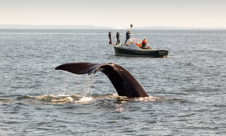 A North Atlantic right whale dives, near a New England Aquarium research boat.