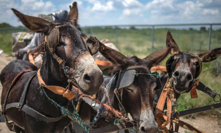 Demand from China for donkey skins has inflated donkey prices beyond what small farmers can afford. In Kenya the price of donkeys' has tripled in one year.