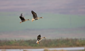 Three Greenland white-fronted geese in flight