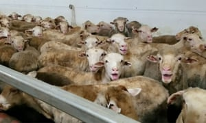 Distressed sheep on livestock carrier Awassi Express