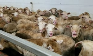 Sheep crowded aboard a ship for export