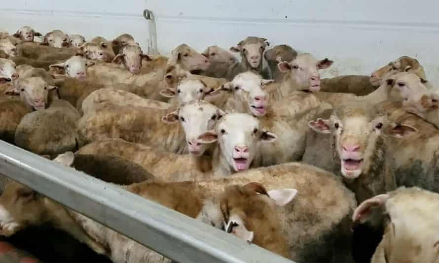 A three-month ban on live sheep exports from Australia to the Middle East could extend to 30 September under options being considered