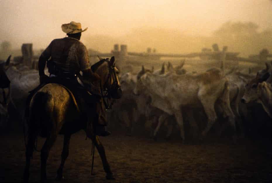 Cowboy guiding cattle, livestock in Pantanal Matogrossense