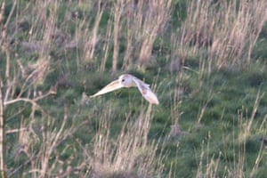 A barn owl seen flying over fields in Sevenoaks, Kent.