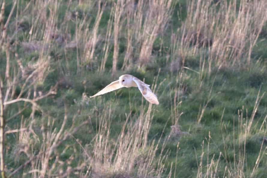 A barn owl seen flying over fields in Sevenoaks, Kent.