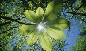 Sunlight filters through the leaves of an umbrella tree, North Carolina, US.
