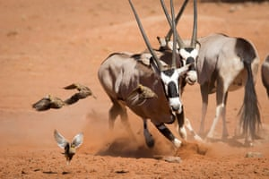 Sand grouse take to the wing to avoid fighting oryx, or gemsbok, at a waterhole in Namibia's Namib Rand nature reserve
