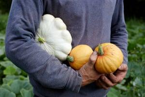 Harvesting winter squash – custard white and golden nugget.