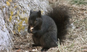 In Britain, black squirrels were imported from North America and then escaped from private zoos.