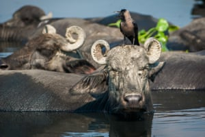 A crow sits on a buffalo as it cools down in water of the Yamuna river in Delhi, India. Yamuna has become one of the dirtiest rivers in the world with about 58% of the city's waste being dumped into it