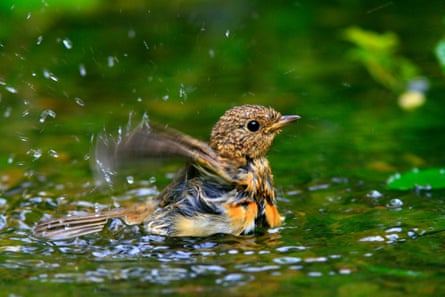A young European robin (Erithacus rubecula) taking a bath.