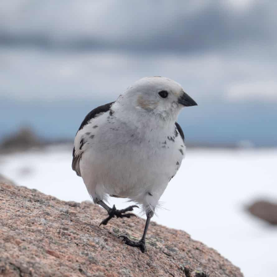 An Amber List species the snow bunting - with only 60 breeding pairs in the UK
