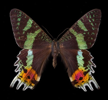 The Madagascan sunset moth.