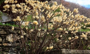 Edgeworthia chrysantha; seduces bees with its heady scent.