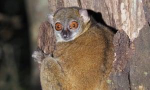 A Sahamalaza sportive lemur
