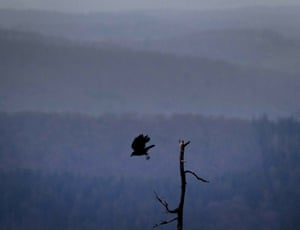 A crow flies from a dead tree on the Feldberg mountain near Frankfurt, Germany