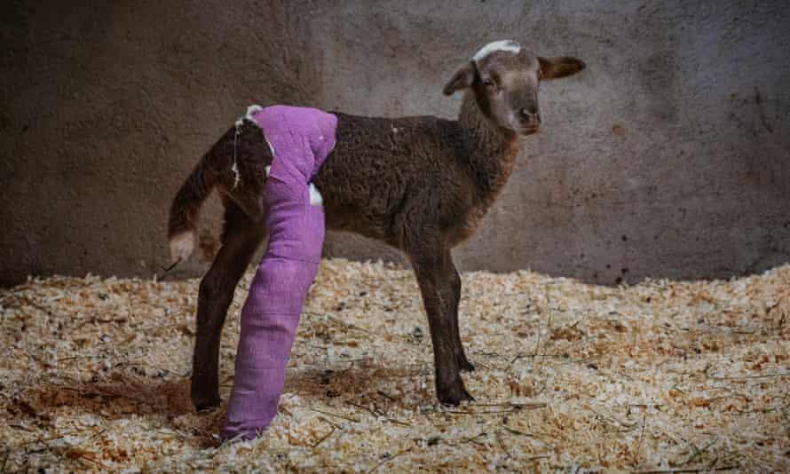 Armoni the lamb, with purple-bandaged leg, at Gaia animal sanctuary in Spain