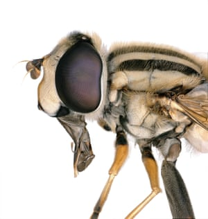 Flower fly (Helophilus latifrons), discovered as part of the BioScan project at the Natural History Museum in LA county