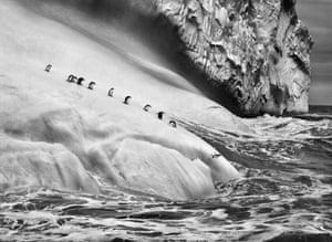 Chinstrap penguins. South Sandwich Islands 2009.