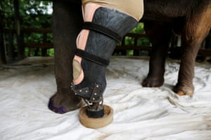 A close-up of Motola's new leg. The elephant has struggled with prosthetics over the years due to the nature of her injuries