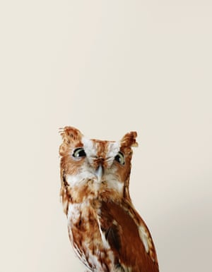 Riley the Eastern screech owl, from Bird Love by Leila Jeffreys, published by Abrams (£25.00)