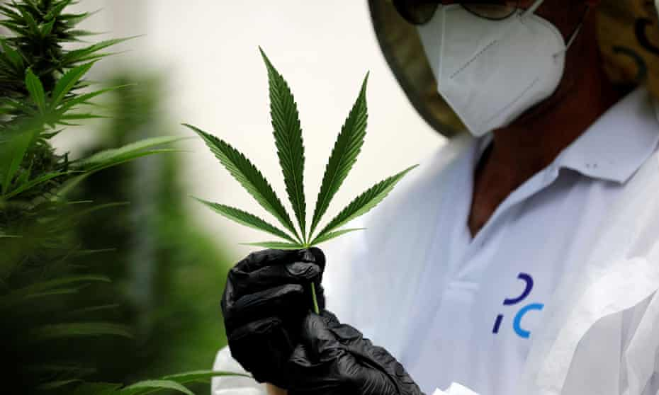 An employee inspects a medical cannabis leaf