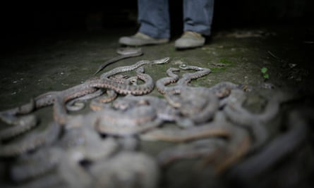 A snake farm worker in Zisiqiao, China, which sells millions of snakes a year to pharmaceutical companies.