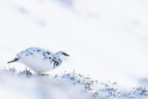 Ptarmigan in winter plumage in snow