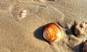 Callista chione, the 'smooth clam'