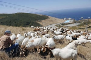 Goat farmer Bob Blanchard tends to his flock above Diablo Canyon nuclear power plant in Avila Beach, California.