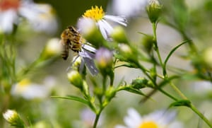 A bee collects pollen at the botanical garden in Munich, southern Germany