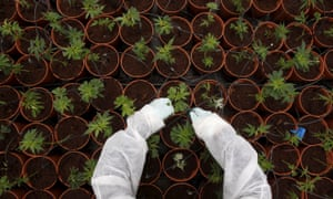 Medical cannabis plants being grown near the city of Safed, northern Israel.
